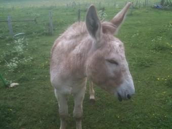 ZEBULON - ONC âne né en 2008 - adopté en octobre 2010 par Anita Ane_du17