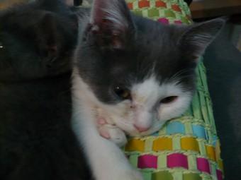 (70) chaton male 2 mois et demi à adopter urgent Booggi12
