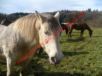 DIVA - ONC Comtois x Fjord née en 1992 - adoptée en décembre 2010 par Cédric Diva_n14