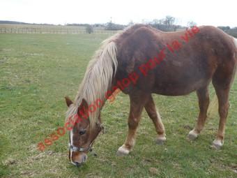 GENTIANE - ONC Poney née en 1979 - Adoptée en mai 2010 par gentianeve Gentia15