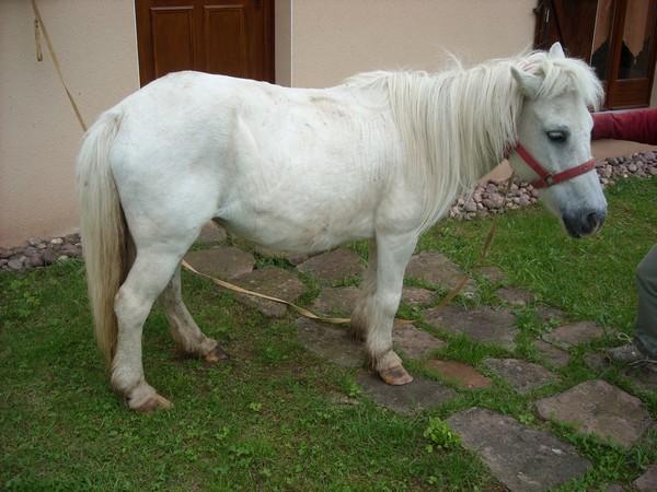 PRISCA - ONC poney typée Shetland née en 1990 - adoptée en septembre 2010 par Delphine Prisca10