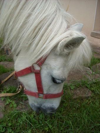 PRISCA - ONC poney typée Shetland née en 1990 - adoptée en septembre 2010 par Delphine Prisca12