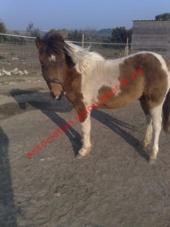 TIPI - ONC poney né en 2008 - adopté en avril 2010 par titan11 Ti_pi_10
