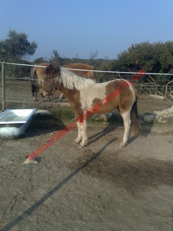 TIPI - ONC poney né en 2008 - adopté en avril 2010 par titan11 Ti_pi_13
