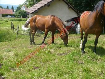 URIELLE - ONC selle X Comtois née en 1986 - adoptée en juillet 2010 par Souris25 Uriell13