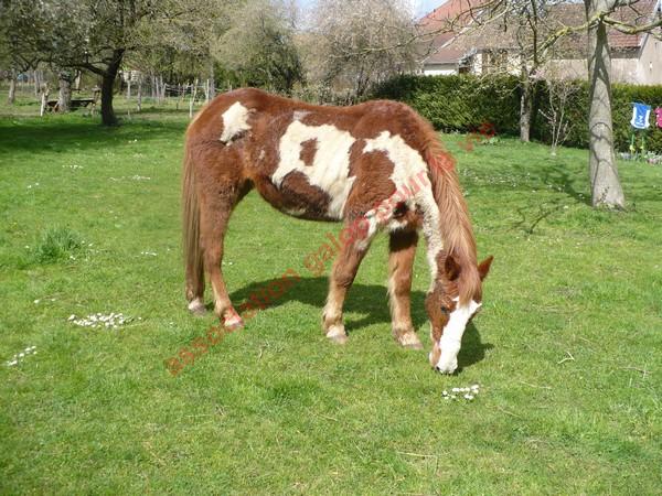 WALANIE (VANILLE) - ONC poney - adoptée en avril 2011 par voulk  - Page 3 Vanill22