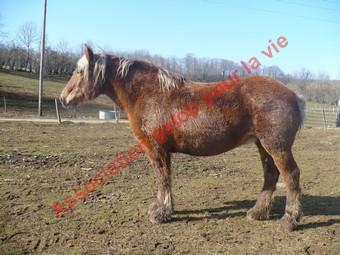 VIOLETTA  - Trait Comtois née en 1987 - adoptée en mai 2010 Violet10