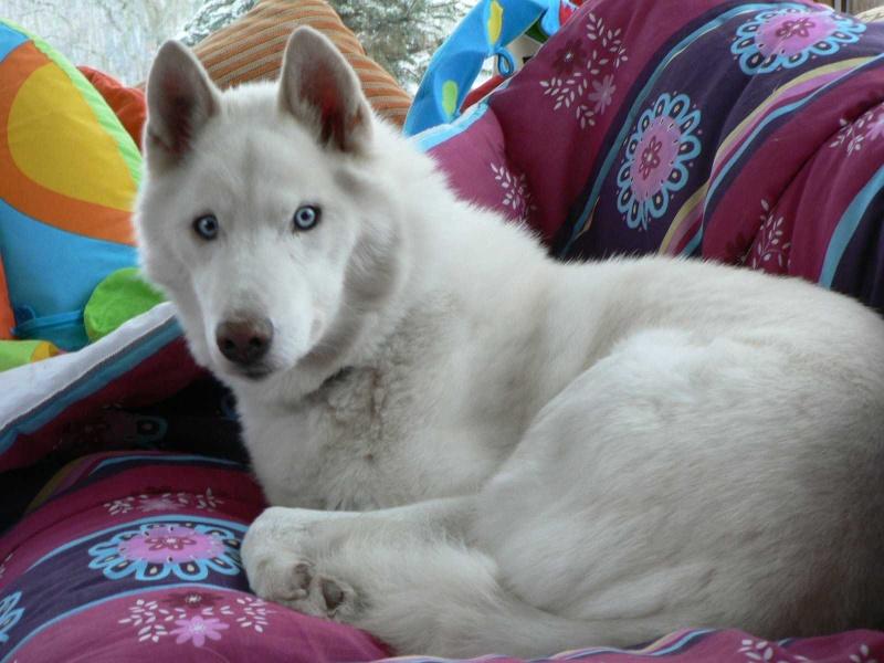 NEMO, gentil mâle husky blanc qui adore les enfants - Page 5 Namo_110