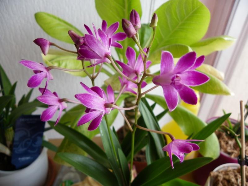mes orchidées Imgp4413