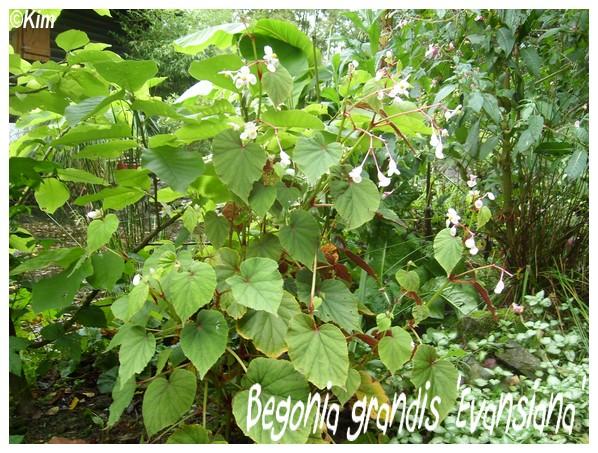 Begonia grandis 'Evansiana' ( Fiche ) Begoni10