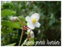 Begonia grandis 'Evansiana' ( Fiche ) Begoni11