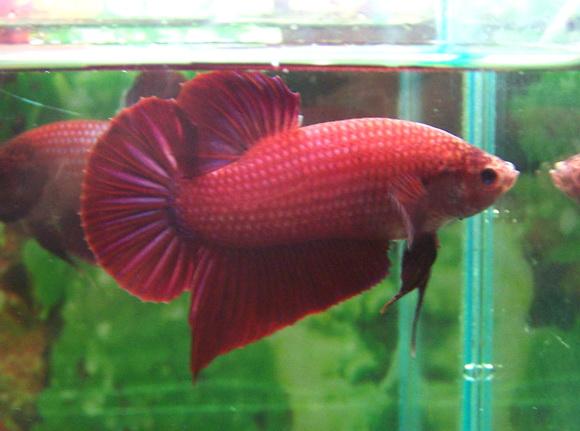 repro HMPK rouge irisation rose violet et femelle couleur ?? Betta_12