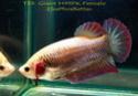 repro HMPK rouge irisation rose violet et femelle couleur ?? Fwbett13