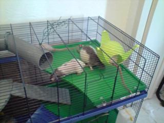 Le nouveau loft des puces, la imac rat prince P1703116