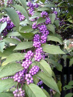 Callicarpa Arbuste aux bonbons 250px-10