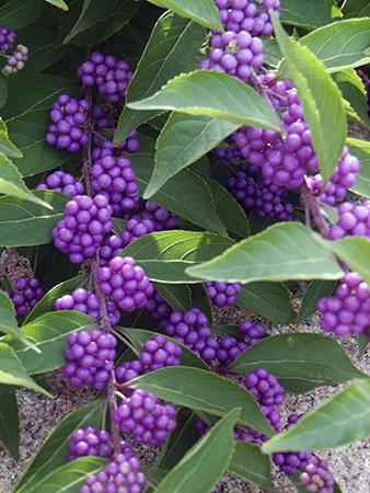 Callicarpa Arbuste aux bonbons Callic11
