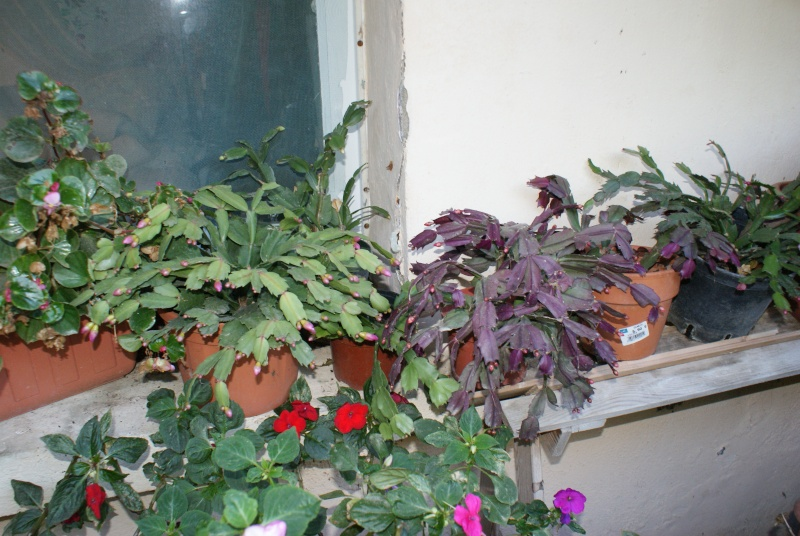 Zygocactus. Dsc00320