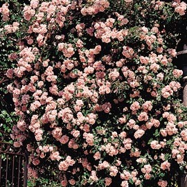 rosiers lianes Rose-a10