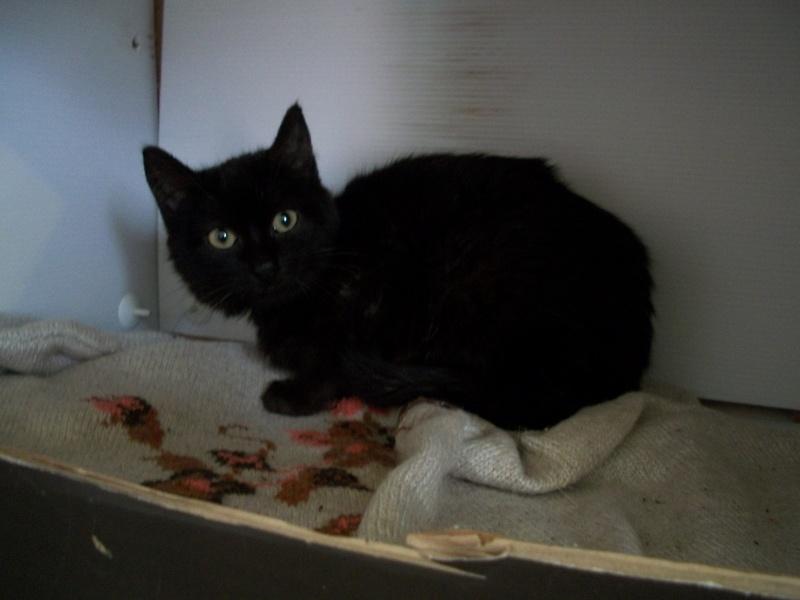 Salem (chaton noir) 00514