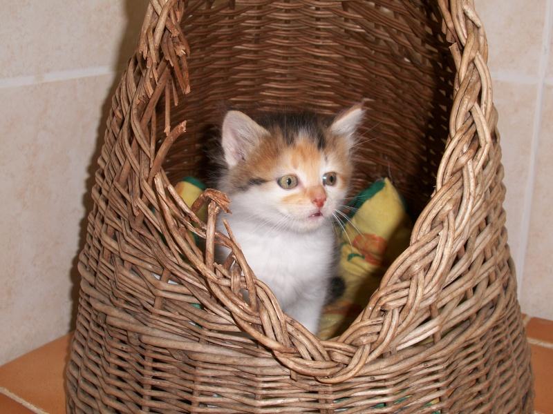 ROSE (chaton tricolore) 01422
