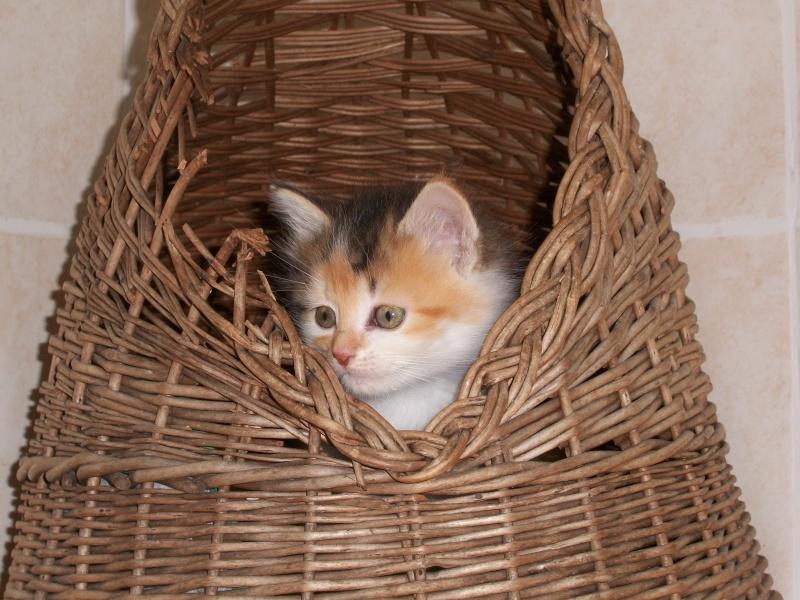 ROSE (chaton tricolore) 01620