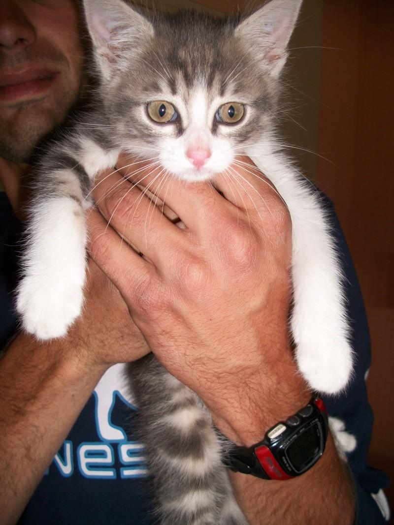Balthazar (chaton mâle tigré gris et blanc) 02116