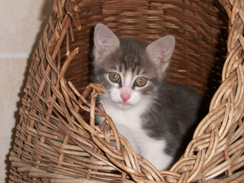 Balthazar (chaton mâle tigré gris et blanc) 02117