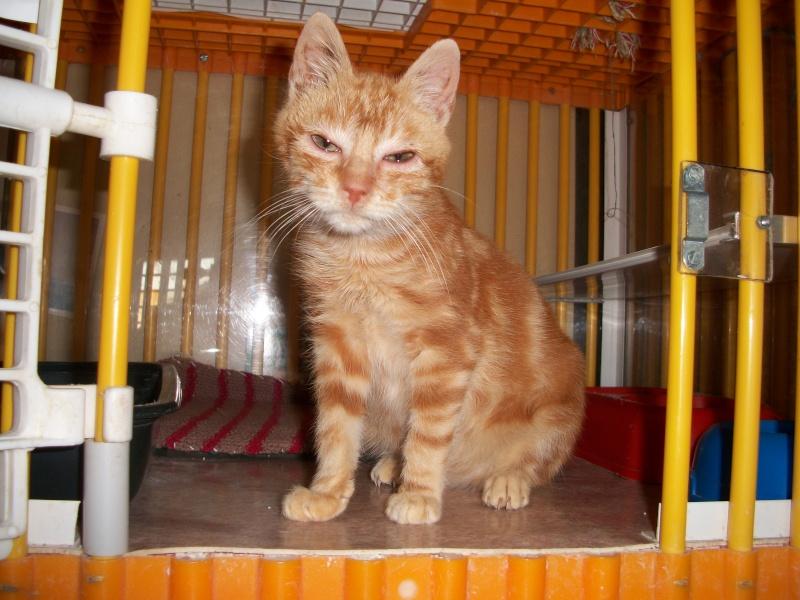 Simba (chaton européen roux) 5_06110