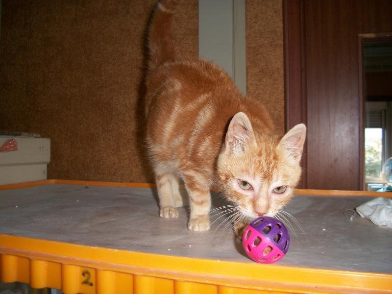 Simba (chaton européen roux) 5_06210