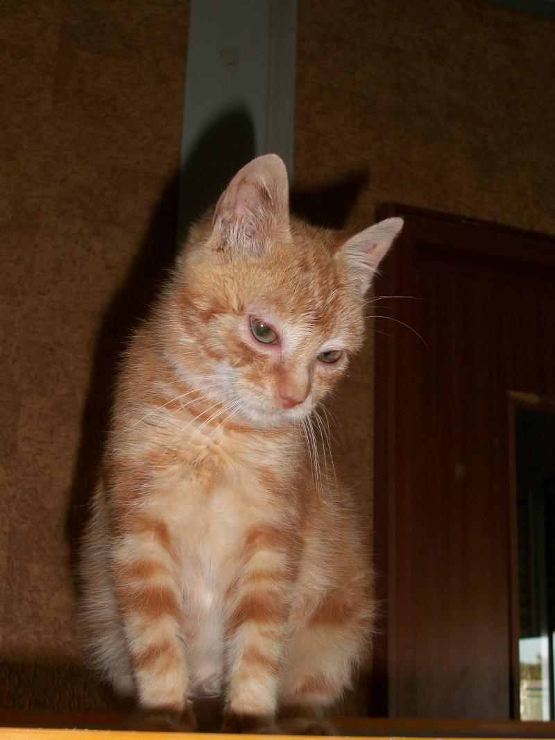 Simba (chaton européen roux) 5_06310
