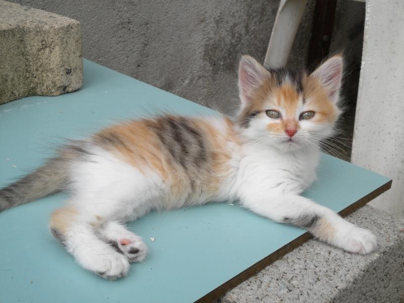 ROSE (chaton tricolore) A_02010