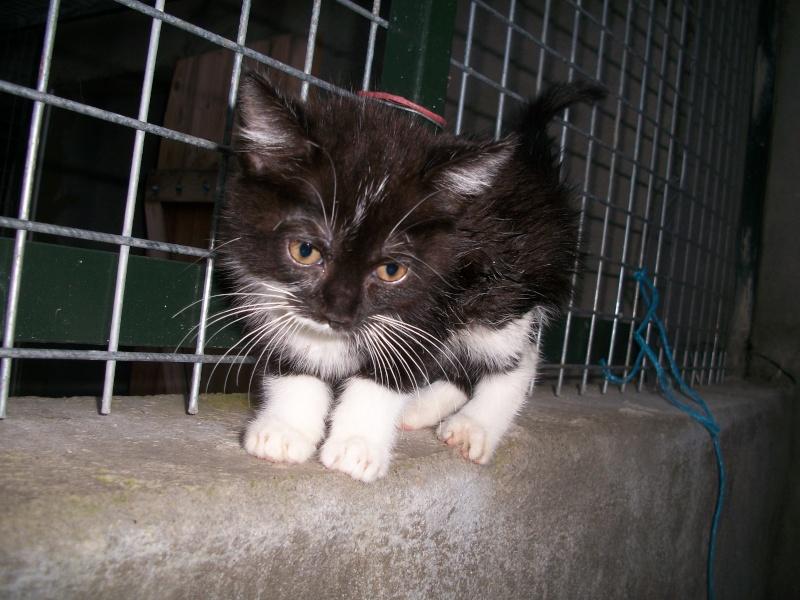 Paillette (chaton noir et blanc) Dioux_17