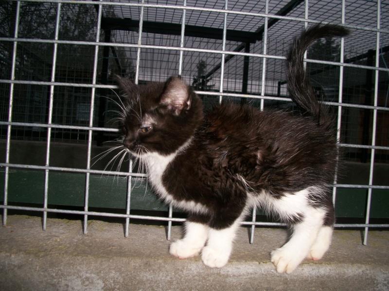 Paillette (chaton noir et blanc) Dioux_18
