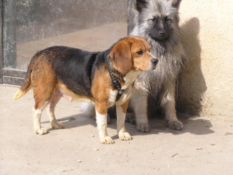 DOGMA, beagle femelle, 3 ans (72) P1010029