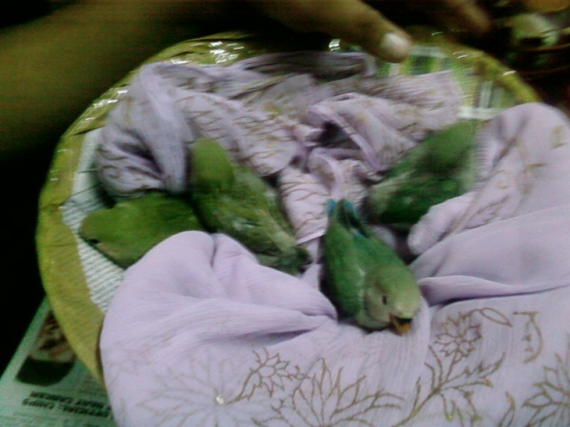 [oiseaux] My Birds Africa10