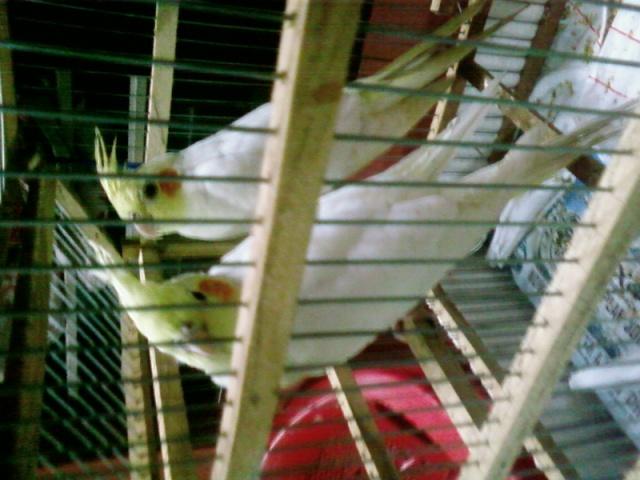 [oiseaux] My Birds Austra10