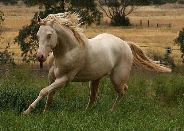 Lachwood Titanium - Perlino AQHA Registered Stallion 12_11_10