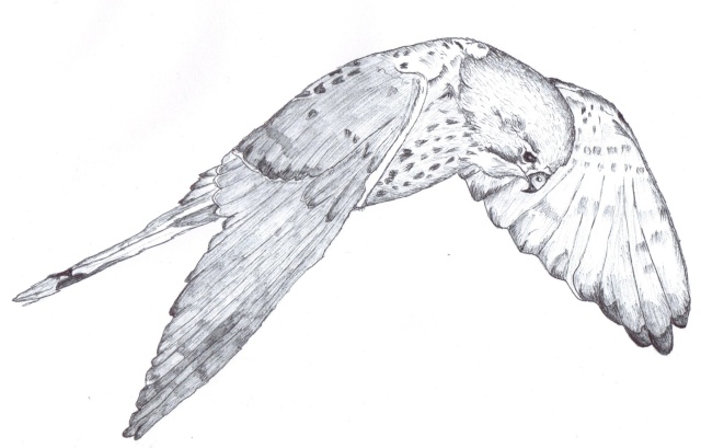 Kestrel Drawing Kestre10