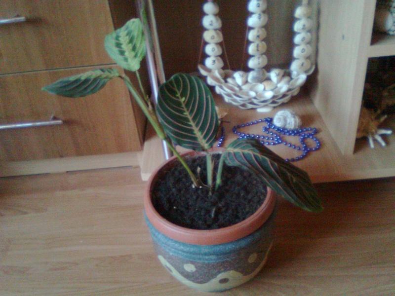 poze cu plantele mele de ghiveci ! - Pagina 18 Imagi183