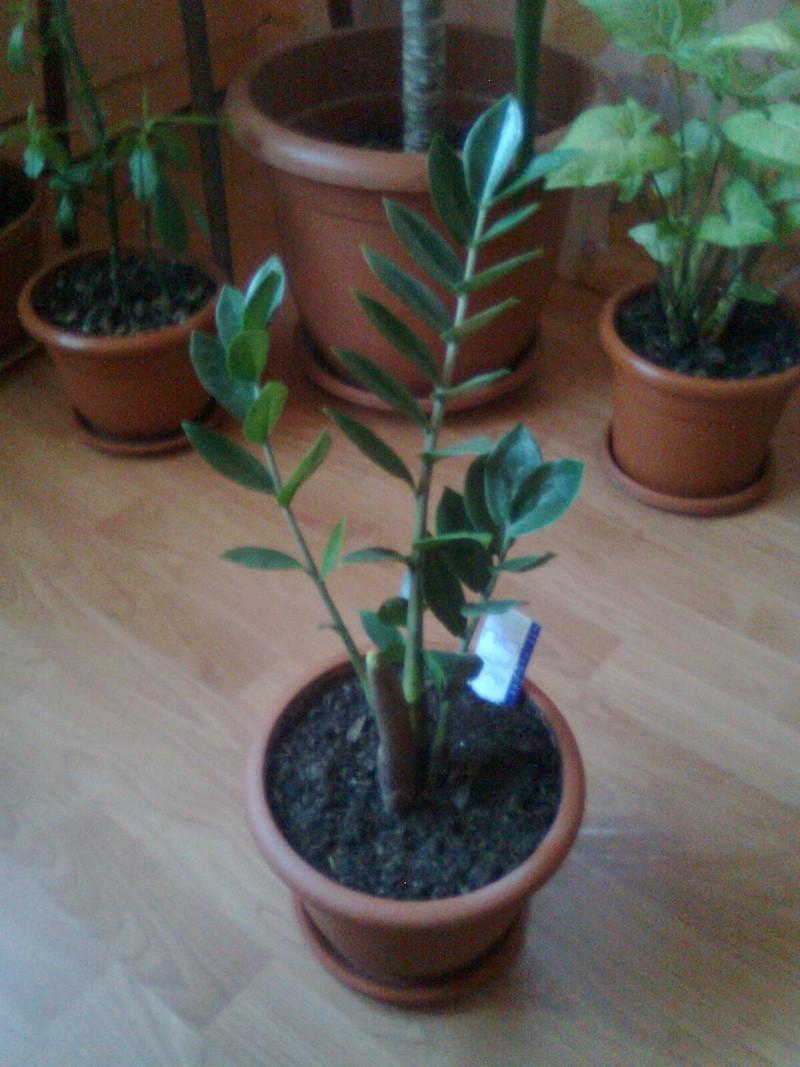 poze cu plantele mele de ghiveci ! - Pagina 18 Imagi184