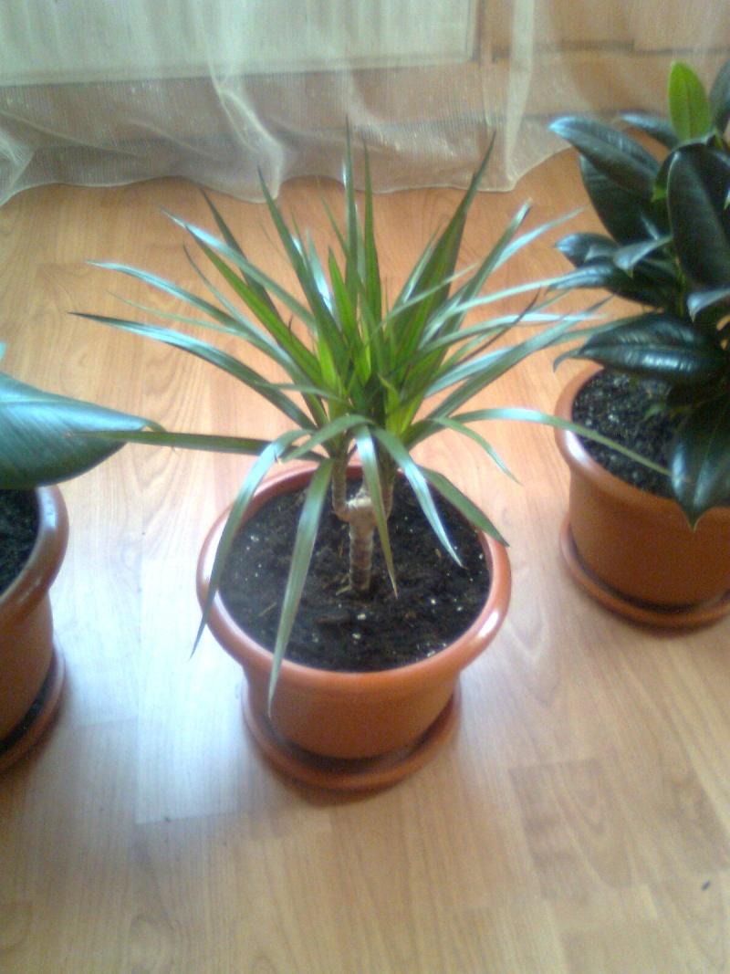 poze cu plantele mele de ghiveci ! - Pagina 18 Imagi190
