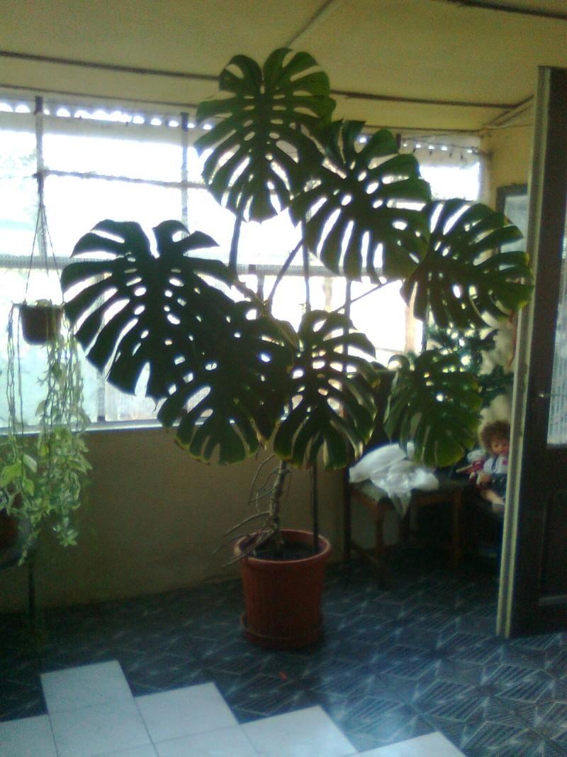 poze cu plantele mele de ghiveci ! - Pagina 18 Imagi192