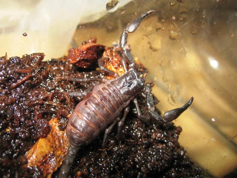 Unidentified Scorplings Twin10