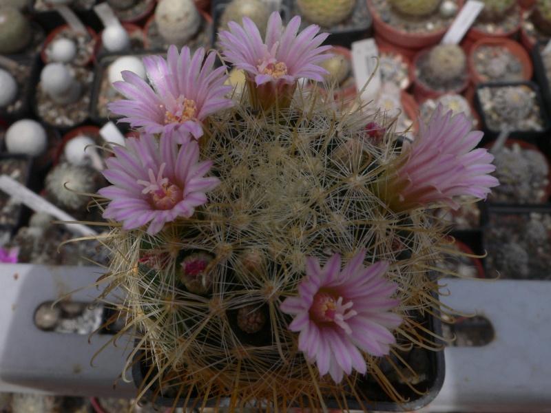 Mammillaria? P1030730