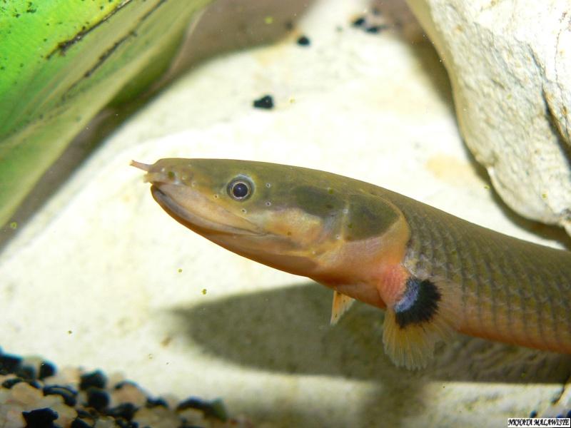 (Polyptéridés)Erpetoichthys calabaricus dit poisson roseau P1070510