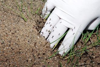 نمل الناريحرق الأجساد ويتلف الزراعات في الولايات المتحدة Ant-2_10