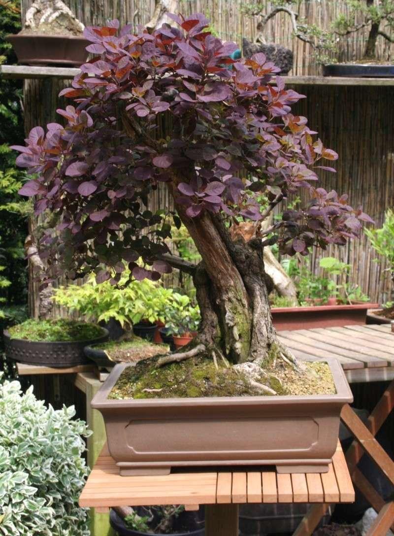 Purple Smokebush 00115