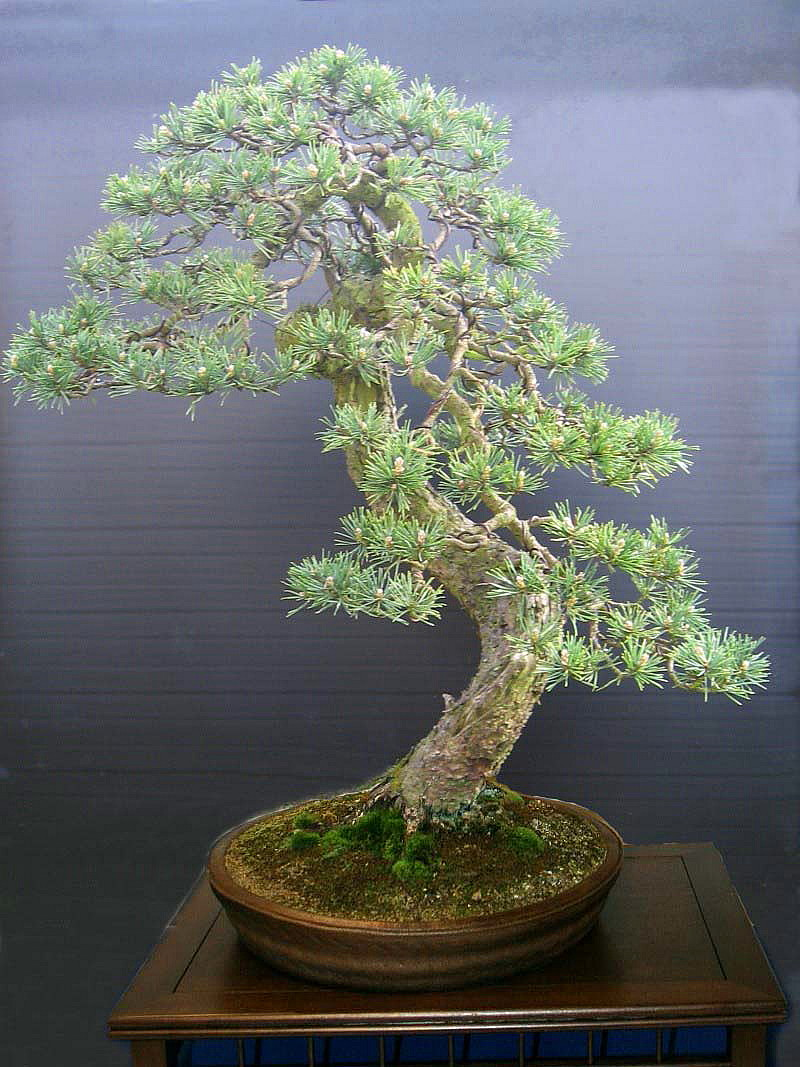 Scots Pine called Ted - Page 2 Virt-p10