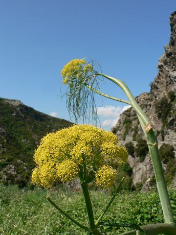 Le Cap Corse fleuri en Mai P1090310