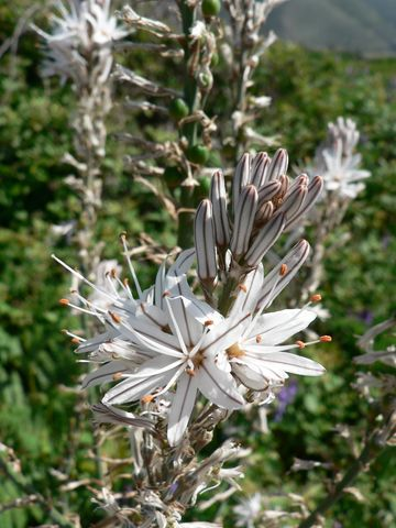 Le Cap Corse fleuri en Mai P1090311